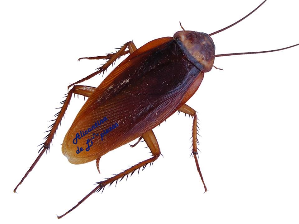 Como evitar y eliminar cucarachas